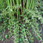 cardoamom_plant